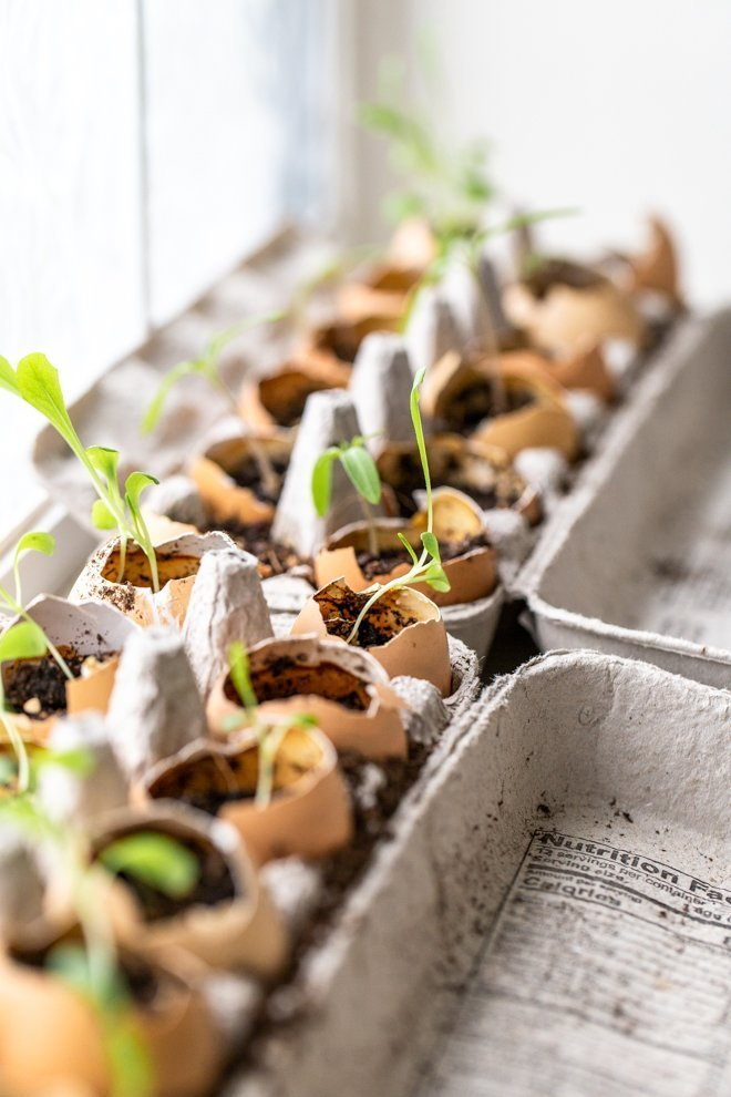 seeds sprouting out of eggshells in egg cartons by a bright window