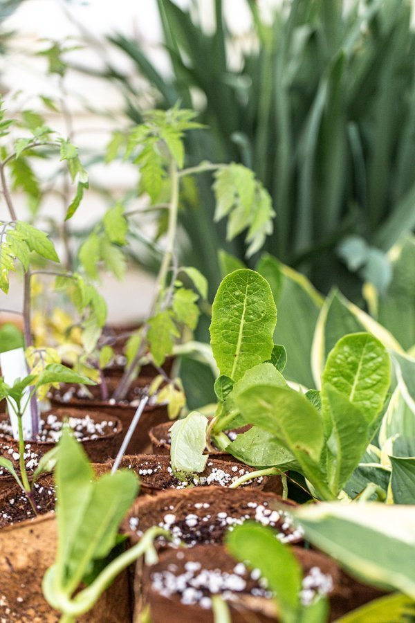 lettuce, peppers in tomatoes in starter peat pots